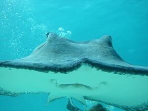 Diving with Stingray in the Cayman Islands